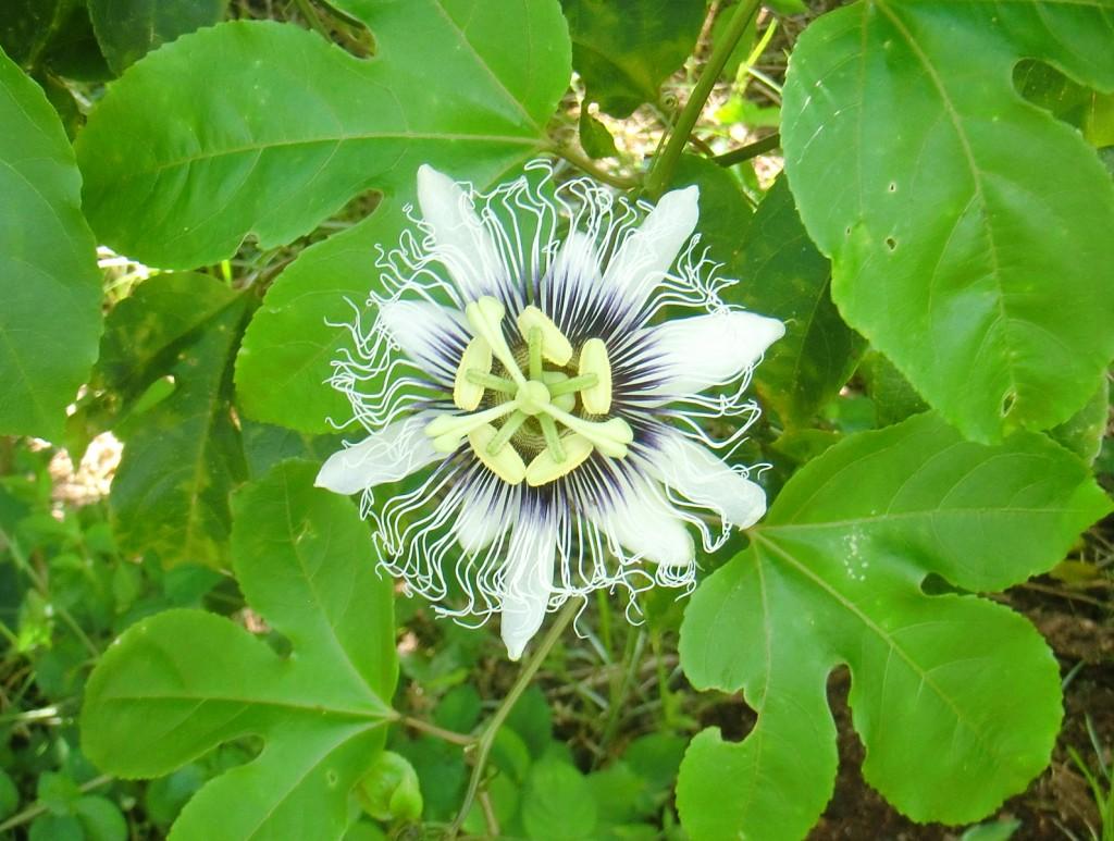 マラクジャの花