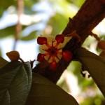 クプアスの花